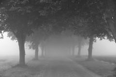 Foggy avenue (Psyko Spiff) Tags: trees bw fog avenue nikond800