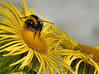 Busy Bee (Stephen Whittaker) Tags: sun flower macro nature weather animal nikon wildlife flash bee honey pollen d5100 whitto27
