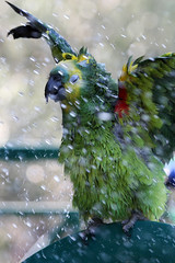 Papag coping with the summer heat (more pics in comments) (ietion) Tags: summer green water rain shower cool bath parrot heat papag papagalo