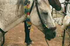 . ((SD)) Tags: horses horse film analogue اسب فیلم سیاهوسفید کنون آنالوگ canon1000n