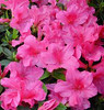 "Azalea Encore • <a style=""font-size:0.8em;"" href=""http://www.flickr.com/photos/101656099@N05/9736794532/"" target=""_blank"">View on Flickr</a>"