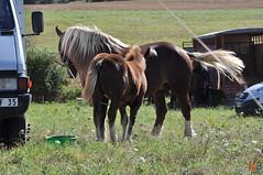 DSC_0068 (- MB Photo -) Tags: de cheval des 09 labour concours 07 vache tracteur vaches chevaux bourg comice agricole comptes 2013 bourgdescomptes |labourer