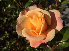 Flowers, again... (JoshHarrow) Tags: flower rose blumen bee rosen photostream biene iphone5s