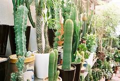 cacti (ulanalee) Tags: flowers film 35mm asia korea greenhouse seoul fujifilm southkorea  fujisuperia800  fujisuperiavenus fujiklassew