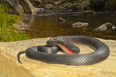 Red-Bellied Black Snake Pseudechis porphyriacus (tropidechis2) Tags: snake venomoussnake blacksnake elapidae pseudechisporphyriacus redbelliedblacksnake redbelliedblack elapid pseudechis australianelapid australianvenomoussnake
