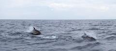 Dolphins - Orca Sea Safaris 13/10/2013 (Just Nice Photos) Tags: england boats cornwall sailing dolphins maryalice falmouth gannets stmawes pollard justnicephotos roselandphotography safarieswildlife m5superyacht orchasea