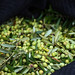 2013 Jordan Olive Harvest 011