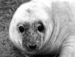 Seals at Donna Nook (Poulter Photography) Tags: nature pups lincolnshire naturereserve seals pup naturalbeauty greyseal donnanook naturalengland naturethroughthelens sealsantuary
