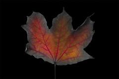 Rappel - 1 (Spock2029) Tags: autumn color fall leave automne leaf couleur vegetal feuille vgtal