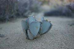 . (Michael Cory) Tags: california cactus plant desert joshuatree