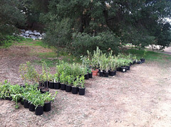Plants all ready to be planted (Weeding Wild Suburbia) Tags: spnp