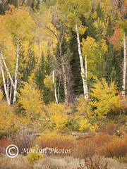 Overlook-Grand Teton NP (4) (moelynphotos) Tags: trees fall yellow woods autumncolors aspen grandtetonnationalpark autumnwoods moelynphotos