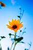 A flower (Brother Lange) Tags: wild montana sunflower helena sunsetflower