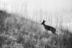 Doe (EmperorNorton47) Tags: california winter blackandwhite nature digital photo afternoon overcast deer muledeer whitingranch odocoileushemionus fauxinfrared whitingranchwildernesspark whitingranchwilderness