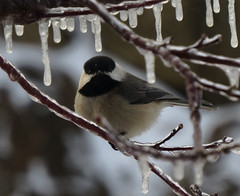 Carolina Chickadee (Trish Overton) Tags: storm bird ice birds icy carolinachickadee in evansvillein