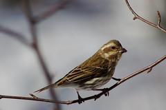 Sparrow (~Bella189) Tags: pentax coaticook 15challengeswinner pentaxk5
