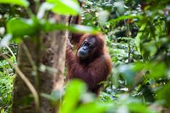 Sandra 4552 (Ursula in Aus) Tags: animal sumatra indonesia sandra unesco orangutan bukitlawang gunungleusernationalpark earthasia