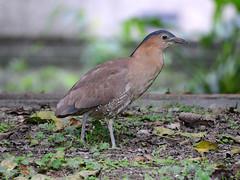 DSC_4014a.jpg (雙關) Tags: 黑冠麻鷺