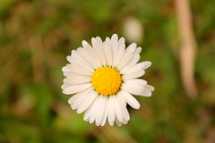 Stokrotka. (Daisy.) ( ) Tags: white flower field grass yellow blossom meadow daisy aster kwiatek kwiat ka stokrotka patki