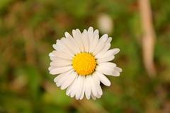 Stokrotka. (Daisy.) ( ) Tags: white flower field grass yellow blossom meadow daisy aster kwiatek kwiat ka stokrotka patki