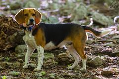 Jobs, 10 mesos (Isaki ) Tags: dog beagle jobs perro gos isaki 100400l canoneos5dmarkiii