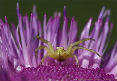 Thomisus onustus is a crab spider species in the genus Thomisus belonging to the family Thomisidae.  Račji pauk 2393 Fa (Morton1905) Tags: račji pauk thomisus onustus meridionalis strand fa pulac 2393