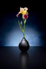_DSC2095 (jhawker) Tags: iris spring a7 travelite 50mmelmarm bowensgemini nomorefreeze