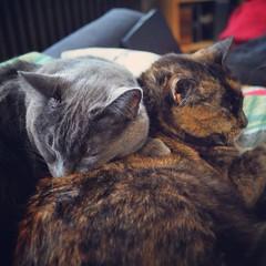 Caturday cuddle (liquidnight) Tags: camera cats pets cute animals portland grey nikon affection siblings tortoiseshell sleepy harriet cuddle aww pdx felines naptime katzen cosy dorian russianblue d90 caturday instagram