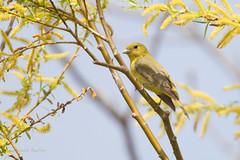_53F9120 Scarlet Tanager (female) (~ Michaela Sagatova ~) Tags: ontario female dundas scarlettanager songbird pirangaolivacea dvca michaelafotheringham michaelasagatova