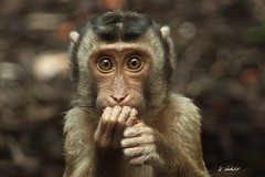 Oepssss !! (K.Verhulst) Tags: arnhem dream fourseasons monkeys burgerszoo apen gateofparadise wonderfulworld elitegroup southernpigtailedmacaque laponder prayfortheworld