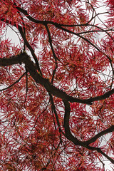Lacy Leaves of a Japanese Maple in Seattle's Japanese Garden (Lee Rentz) Tags: seattle park red usa plant tree texture nature crimson leaves lines america sc