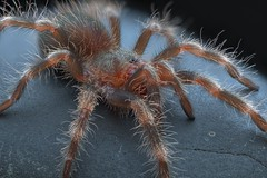 Nhandu coloratovillosus 1-inch sling (_papilio) Tags: macro canon spider nikon arachnid papilio arthropod theraphosidae nhandu sigma150mm coloratovillosus d800e