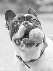 Happy (Sachada2010) Tags: portrait bw dog pet playing byn animal canon ball french happy photography martin retrato sigma os bulldog apo perro frenchie fotografia frances javier mascota jugando pelota martn contento hsm 120400mm sachada sachada2010