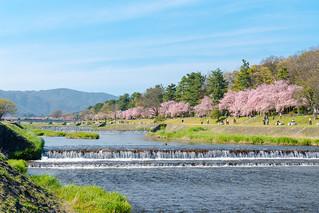 鴨川沿いのさくら / Kamo-gawa River