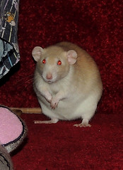 Astrid Cleaning (diedintragedy) Tags: pets animals rat dumbo astrid rodents elsa topaz petrat brownrat whiterat fancyrat albinorat dumborat siameserat fawnrat pinkeyedrat redeyeddilute rubyeyedrat