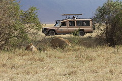 Watching Lions from the Land Cruiser
