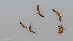 Collared Pratincoles (Bob Gunderson) Tags: birds botswana southernafrica glareolapratincola kwara pratincoles okvangodelta canoneos7dmarkii collaredpratincoles