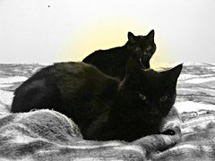 Serengetti (knightbefore_99) Tags: friends black cat bed furry feline chat noir nap duo pair kitty halo gato resting serengetti cc100
