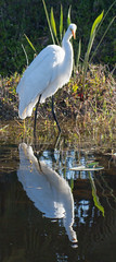 _AAC8175.jpg (Lake Worth) Tags: bird nature birds animal animals canon wings florida wildlife feathers wetlands everglades waterbirds southflorida 2xextender sigma120300f28dgoshsmsports