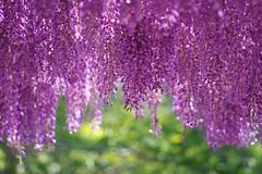 04052016 (HIROKO321) Tags: flower nature