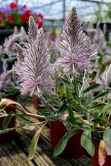 Odd Flower (kzural) Tags: leica flowers flower florida jacksonville pointandshoot testshot leicax1 tradsgardencenter