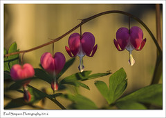 Dicentra - Bleeding Hearts (Paul Simpson Photography) Tags: pink flower nature leaves spring naturalworld dicentra bleedinghearts photosof photoof imagesof sonya77 paulsimpsonphotography may2016