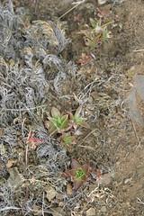 (joedecruyenaere) Tags: dudleya crassulaceae santamonicamountains losangelescounty