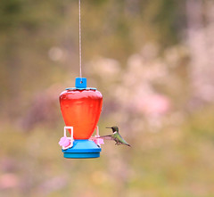 A New Visitor (Cindy's Here) Tags: ontario canada canon hummingbird bokeh pearl hummer cropping studio26cropping billsoldamethystmine