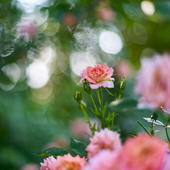 Gently Air (ai3310X) Tags: rose t none planar carlzeiss  1450  ycontax