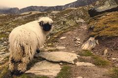 Valais Blacknose (pflegebaer) Tags: rock schweiz switzerland sheep climbing alpen wallis berner valais blacknose sparrhorn