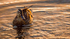 swimming (grahamrobb888) Tags: water scotland duck spring perthshire sigma relaxed clunieloch nikond800 sigma120400mm