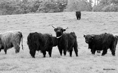 Tickle under my chin up a bit! (mootzie) Tags: hairy monochrome field scotland aberdeenshire cows horns scottish highland tickling