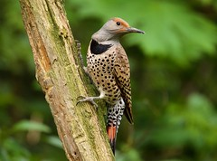 Northern Flicker Female (jerrygabby1) Tags: