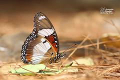 The Danaid Eggfly -  (Antonio Giudici Butterfly Trips) Tags: thailand butterflies lepidoptera chiangmai doisuthep nymphalidae nymphalinae thedanaideggfly hypolimnasmisippusmisippus